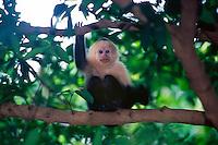 White faced Capuchin monkey (Cebus Capuccinus), Rincon de la Vieja National Park, Costa Rica