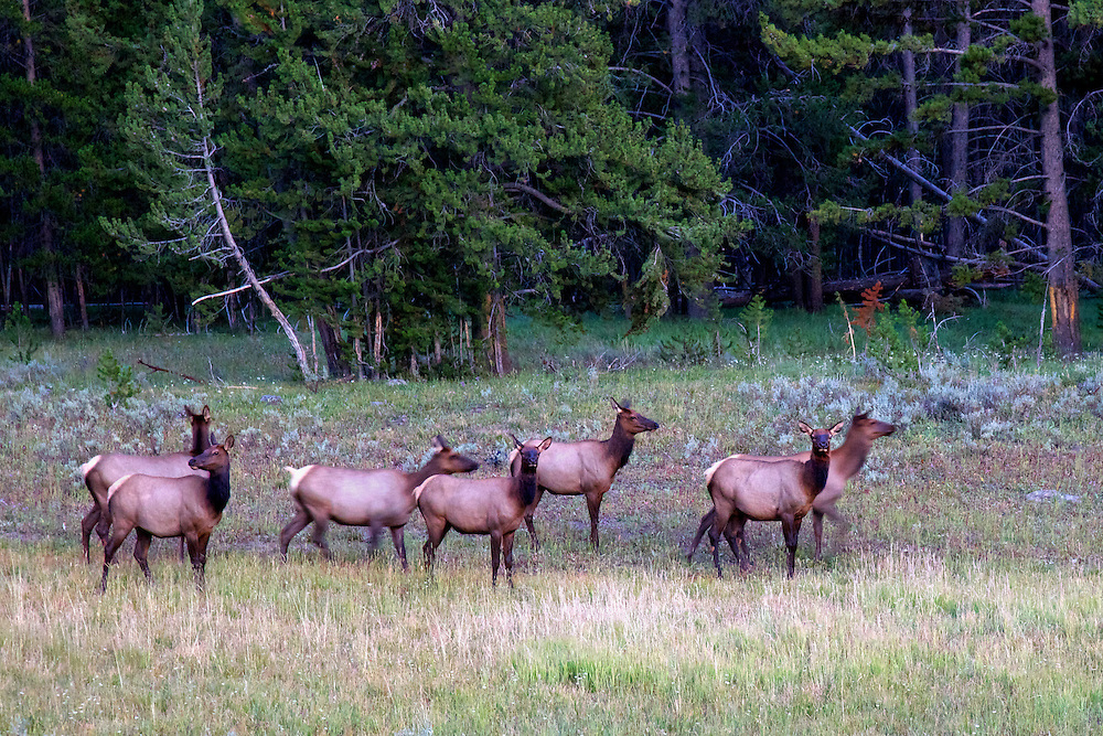 A herd of female elk are out and about at dusk in the meadows of Yellowstone National Park, WY