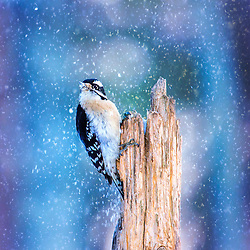A Male Downy Woodpecker In The Snow