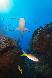Caribbean Reef Sharks, Carcharhinus perezi, Yellowtail Snappers, Ocyurus chrysurus, and minnows, West End, Grand Bahama, Atlantic Ocean