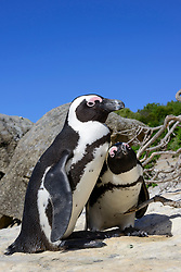 Spheniscus demersus, Brillenpinguine, African penguins or Jackass penguin or black-footed penguins, Suedafrica, Simons Town, False Bay, Boulders Beach, South Africa