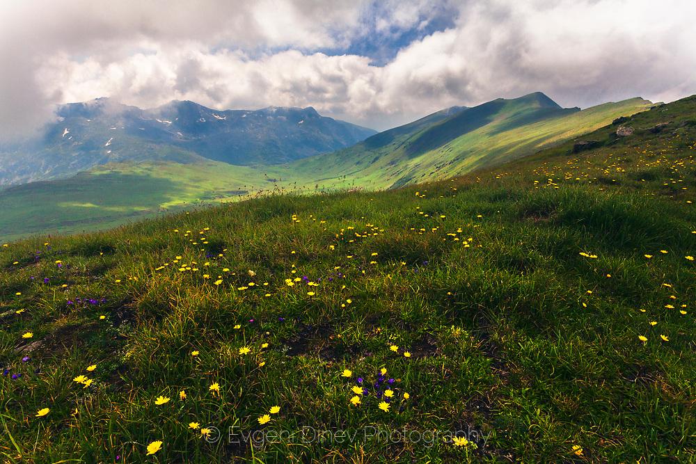 Green mountain meadow full of wilid flowers