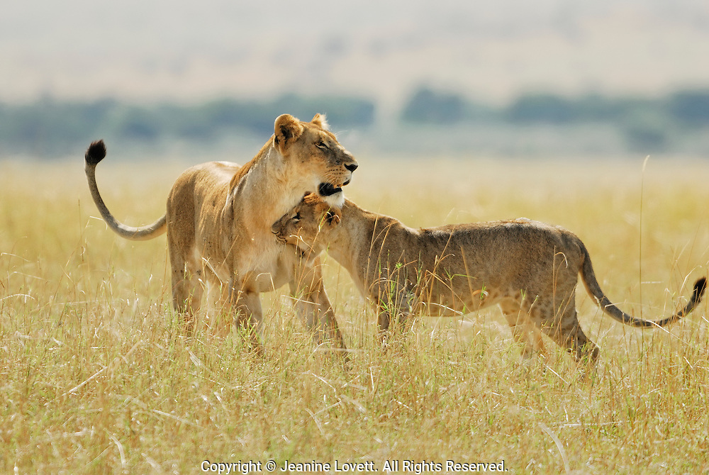 A playful bite from a young lion.