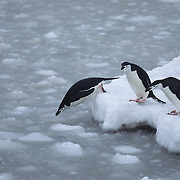 Chinstrap Penguin jumping into the water. South Sandwich Island