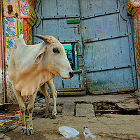 Cow roaming the streets of Bundi's old town