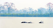 The endangered wild water buffaloes (Bulbalus arnee) swimming in Kaziranga National Park, Assam, India.