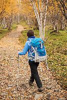 Female hiker hikes through autumn birch forest near Abisko at northern end of Kungsleden trail, Lappland, Sweden