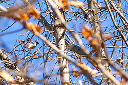 Bluejay in tree (Cyanocitta cristata)