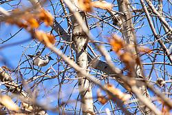 Bluejay in tree (Cyanocitta cristata)