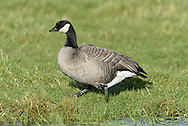 Richardson's Cackling Goose - Branta huchtinsii hutchinsii