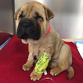 """Critically Ill """"Puppy Mill"""" Dog on the Mend after Surgery"""