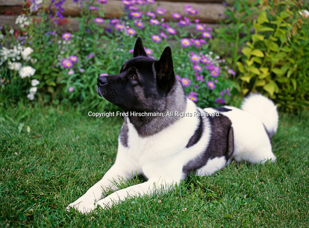 """Akita, AKC, 22-month-old """"Dax"""" owned by Carrie Keays and photographed in Palmer, Alaska.  (PR)"""