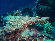Crocodile Fish, Cymbacephalus beauforti, perched on rock in coral reef, Red Sea, Egypt