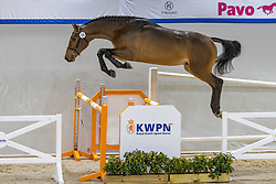 014, No Nonsens<br /> KWPN Hengstenkeuring 2021<br /> © Hippo Foto - Dirk Caremans<br />  03/02/2021