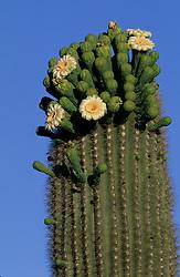 North America, United States, Arizona, Saguaro National Monument, ribs, spine and flowers of Saguaro cactus (Carnegiea gigantea); grow to 50' in 150 years.