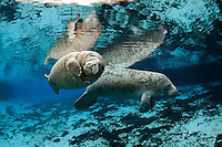 Florida manatee, Trichechus manatus latirostris, a subspecies of the West Indian manatee, endangered. A manatee calf rubs its flippers together against its chest while floating and rolling in the warm freshwater springs. His mother observes. Young manatee often have this bumpy, itchy skin they eventually grow out of. Horizontal orientation with blue water, reflections and another manatee resting in the background. Three Sisters Springs, Crystal River National Wildlife Refuge, Kings Bay, Crystal River, Citrus County, Florida USA.