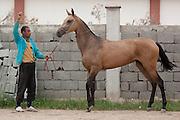 A groom displays an Ahal Teke horse belonging to breeder Ovlakuli Sharipov at his yard in Ashgabat, Turkmenistan.