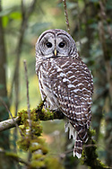 A Barred Owl (Strix varia) perched in a Fraser Valley backyard forest.  While I photographed this Barred Owl it was harassed by Northwestern Crows, Steller's Jays, and an Annas Hummingbird.