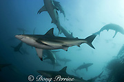 copper sharks or bronze whalers ( Carcharhinus brachyurus ) feed on a bait ball of sardines or pilchards ( Sardinops sagax ) during the annual Sardine Run off the east coast of South Africa at Mboyti, Transkei or Wild Coast ( Indian Ocean ) Cape gannets ( Sula capensis ) diving in background