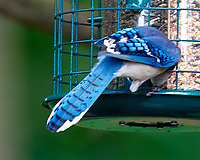 Blue Jay. Image taken with a Nikon D810a camera and 600 mm f/4 VR lens.