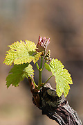 bud burst on the vine ch moulin du cadet saint emilion bordeaux france