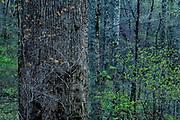 Ancient Forest, Joyce Kilmer Memorial Forest