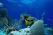 diver and spiny lobster, Panulirus argus, Molasses Reef, Florida Keys National Marine Sanctuary, Key Largo, Florida ( Western Atlantic Ocean )  MR 130