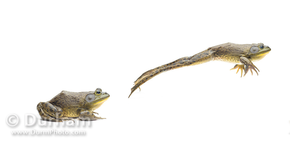 A jumping male American bullfrog (Lithobates catesbeianus) - an invasive species in the western North America.