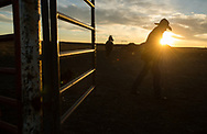 Jake Henderson walks his horse at sunset after an all day horse drive taking 20, 1-year-old Percheron geldings down 20 miles of roads and across the plains of western North Dakota to Ronnie Oyloe's ranch in Round Prairie Township west of Williston, N.D., Oct 25, 2013.  Henderson and his wife Jen, who rent a house on Oyloe's property, and neighbors Kendel and Leroy Hofer, the five of them worked in unison to move the horses from their original location just south of Ray, ND.  Photo Ken Cedeno