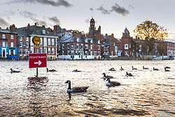 © Licensed to London News Pictures. 31/10/2020. York UK. Geese swim along a flooded footpath in York after the River Ouse broke its banks in the early hours of this morning following heavy rainfall. Photo credit: Andrew McCaren/LNP