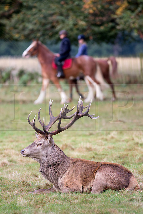 © Licensed to London News Pictures. 02/10/2016. London, UK. Two horse riders are seen behind a deer at first light in Richmond Park on Sunday morning. The deer are in rutting season, where they are mating are particularly aggressive towards each other. Photo credit : Tom Nicholson/LNP
