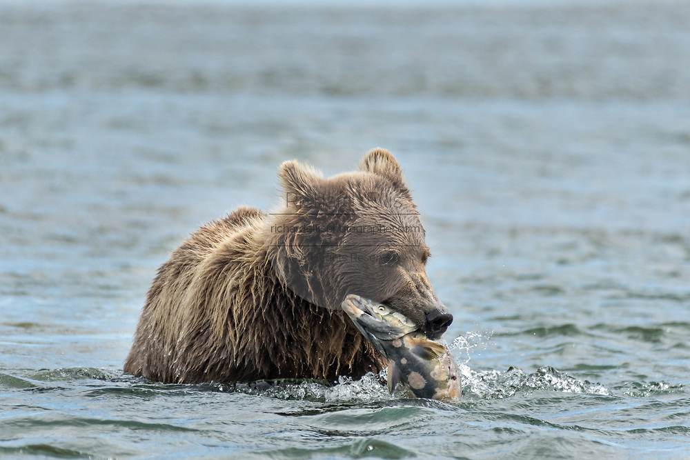 A Brown bear catches a salmon in the lower lagoon at the McNeil River State Game Sanctuary on the Kenai Peninsula, Alaska. The remote site is accessed only with a special permit and is the world's largest seasonal population of brown bears in their natural environment.