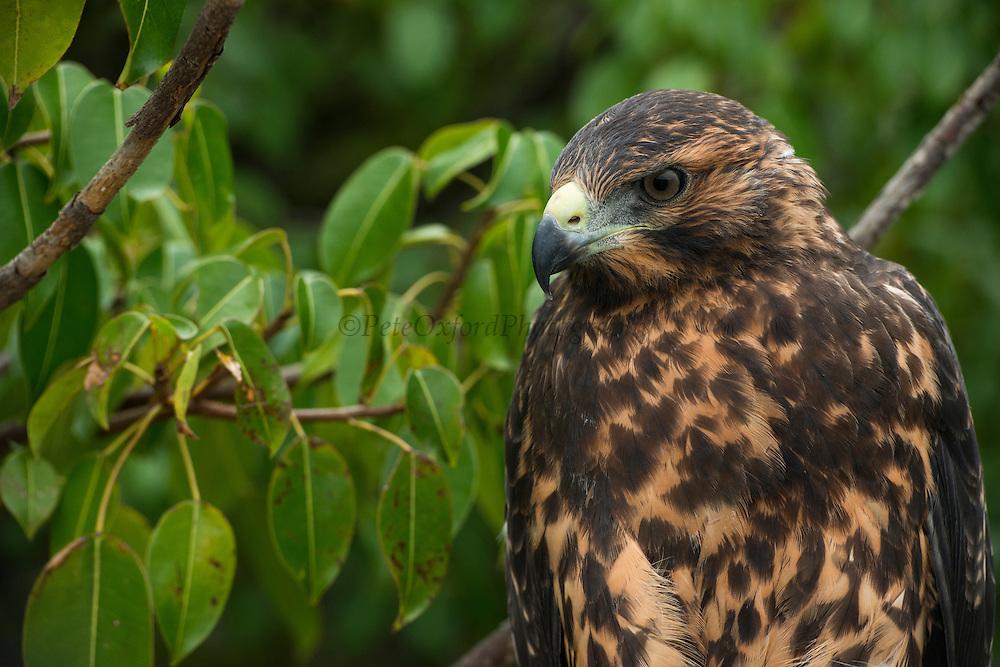 Galapagos Hawk (Buteo galapagoensis)<br /> Urbina Bay<br /> Isabela<br /> Galapagos<br /> Ecuador, South America<br /> ENDEMIC