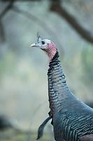 Gould's wild turkey (M. g.mexicana) Aravaipa Canyon Preserve, AZ.