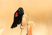 Red-winged Blackbird, Montana.