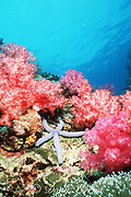 blue sea star or starfish, Linckia laevigata, and soft corals, Richilieu Rock, Surin Islands, Thailand, Andaman Sea ( Indian Ocean )