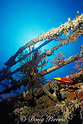 spotfin hogfish, Bodianus pulchellus, sponges and gorgonians on Tenneco Towers, a.k.a. Texas Towers - an oil rig that was redeployed as an artificial reef, four years after <br /> sinking, Davie, Florida ( Western Atlantic Ocean )