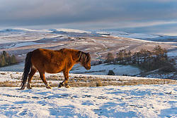 © Licensed to London News Pictures. 31/12/2020. Builth Wells, Powys, Wales, UK. Welsh mountain ponies forage in the bitterly cold weather on the Mynydd Epynt moorland near Builth Wells in Powys, Wales, UK. after temperatures plunged to minus 3.5 degrees centigrade last night. Photo credit: Graham M. Lawrence/LNP