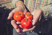 A man holding three home grown tomatoes on the 17th August 2016 in London in the United Kingdom.