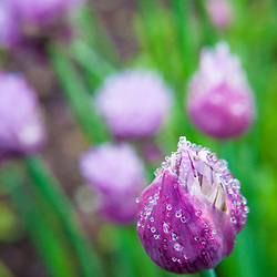 Chives bloom in a Portsmouth, New Hampshire garden.