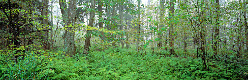 Ferns and forest fill Wyoming State Park, Pennsylvania.