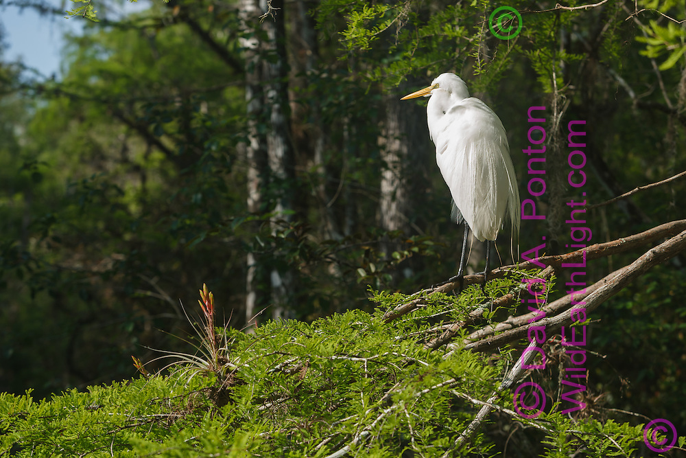 Great egret on branch in cypress forest with bromeliad, Big Cypress National Preserve, © 2007 David A. Ponton