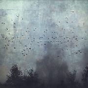 Bäume im Nebel mit Vogelschwarm auf Stromleitung, manipulierte Fotografie, Wuppertal, Deutschland<br /> Redbubble prints: http://www.redbubble.com/people/dyrkwyst/works/20598088-fantasmas?ref=recent-owner