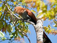 Squirrel cuckoo, Piaya cayana, in the gardens of the Hotel Bougainvillea, San Jose, Costa Rica