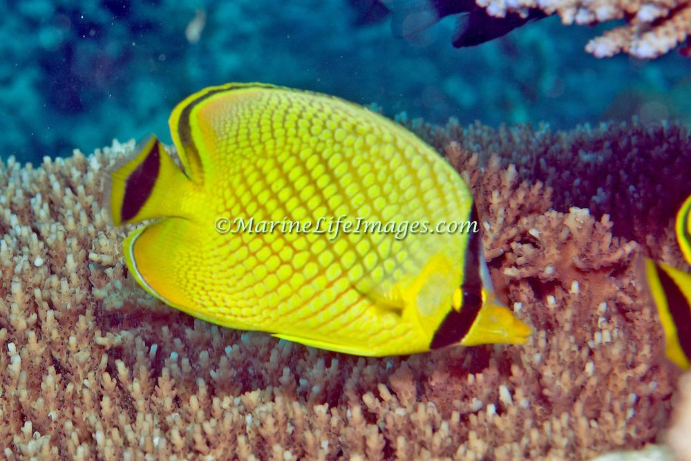 Latticed Butterflyfish inhabit reefs. Picture taken Palau.