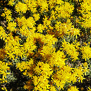 The brilliant yellow flowers of the Turpentine Bush, Ericameria laricifolia, bloom in the fall in the Sonoran Desert of southern Arizona.