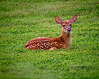 Fawn with spots resting in the backyard grass. Image taken with a Fuji X-T3 camera and 200 mm f/2 OIS lens + 1.4x teleconverter
