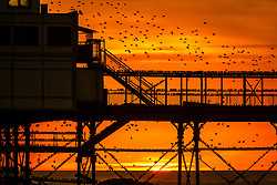 © Licensed to London News Pictures. 11/02/2019. Aberystwyth, UK. Huge flocks of thousands of starlings (known as 'adar yr eira' - 'snow birds' in the welsh language) fill the evening sky over Aberystwyth's Victorian seaside pier. Photo credit: Keith Morris/LNP