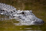 An American alligator (Alligator mississippiensis) swims partially submerged along the Nine Mile Pond Canoe Trail in Everglades National Park, Florida.