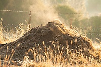 Pile of compost steaming in early morning light.